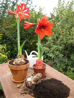 Groß, lang und prächtig: Jetzt ist Amaryllis-Zeit! Gäbe es einen Preis für garantierte Blüten – die Amaryllis hätte ihn längst eingeheimst. Hier die zehn wichtigsten Tipps für ein blühendes Gelingen: http://www.nachrichten.at/freizeit/haus_garten/Gross-lang-und-praechtig-Jetzt-ist-Amaryllis-Zeit;art123,1221730 (Bild: Ploberger)