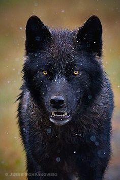Looks like a painting! Wolf Close up  by ~Schpakowski