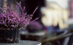 lavender flower desktop background