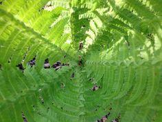 Saniainen (pteridophytina)