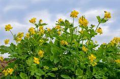 Lastovičník väčší: Jedovatá, ale predsa liečivá bylinka | Info.sk Herbs, Plants, Garden, Liquor, Garten, Planters, Gardening, Outdoor, Home Landscaping
