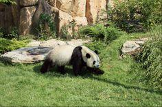 Huan Huan - Panda - Août 2013