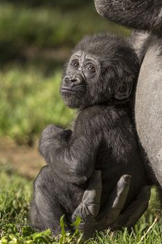Leslie is a handful. Read the ZOONOOZ article about the baby boom of critically endangered and threatened species that is giving us hope. Primates, Mammals, Mundo Animal, My Animal, Nature Animals, Animals And Pets, Strange Animals, Beautiful Creatures, Animals Beautiful