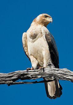 Majestic Eagle - Botswana, Africa