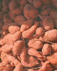 Curing & storing sweet potatoes