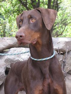 Doberman Rescue, Doberman Love, Doberman Colors, White Doberman Pinscher, Wrinkly Dog, Cute Cats And Dogs, Big Dogs, Scary Dogs, Dog Grooming Business