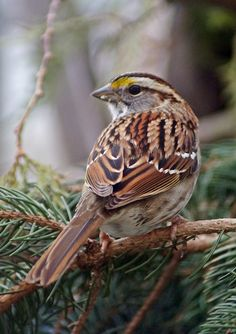 White Throated Sparrow by Cherylorraine Smith