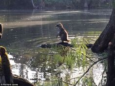 Raccoon hitches a ride on the back of an ALLIGATOR to the amazement of passing Florida forest photographer