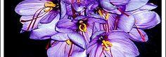 Azafrán de la Mancha Crocus sativus L. - Planta bulbosa  Rosa del Azafrán en La Mancha: origen, cultivo, producción, utilidades.  Crocus sativus L. - Planta bulbosa. originaria, al parecer del Asia Menor y de la Península balcánica: extensamente cultivada en ltalia, en España, en el Sur de Francia y en la región del Danubio.- Fam. Iridáceas.