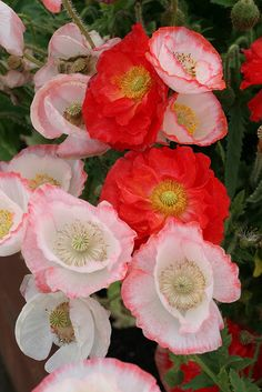 Poppy (papaver rhoeas) 'falling in love' mix