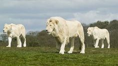http://whyevolutionistrue.wordpress.com/2013/10/05/the-little-lion-who-couldnt-roar/  // White lions  of SA  (are )not albinos but show leucism, a genetic trait due to a single mutation ....