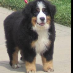 Bernese puppy Briska!