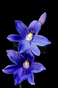NZ native orchid