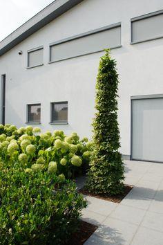 beukenspil, Hydrangea Arborescens Annabelle