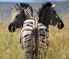 Africa   Zebras standing one behind the other.   ©photographer unknown