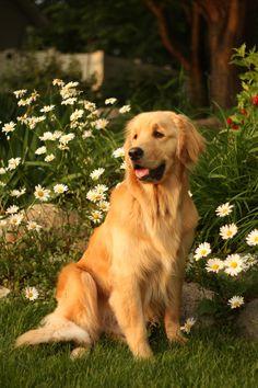 Golden Retriever...perfect portrait #goldenretriever