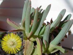 Cheiridopsis imitans