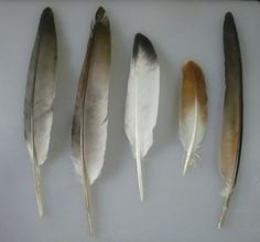 found feathers | think these are from Rock Pigeons (because of the diversity of ...