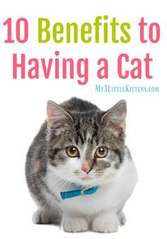 Cat Care Kittens 10 Benefits to Having a Cat. A must read for any kitty owner! - Benefits to Having a Cat will have you thanking your kitty cat in no time at all! These benefits are cat approved as well! Little Kittens, Cats And Kittens, Kitty Cats, Benadryl For Cats, Cats 101, Cat Allergies, Cat Info, What Cat, Kitten Care