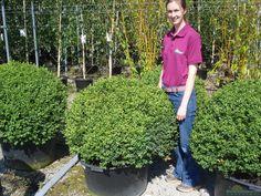 Buxus Sempervirens Ball 90 Litre Pot 90cm wide