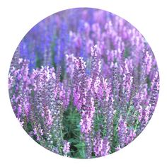 Lavander Art Print ($20) ❤ liked on Polyvore featuring home, home decor and wall art