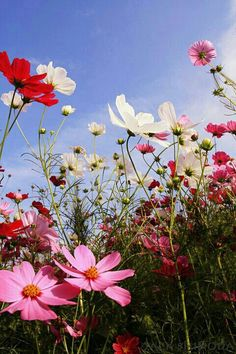 COSMOS - In my front flower bed
