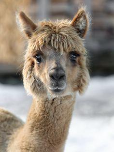 Alpaka                                                                                                                                                     Mehr Alpacas, Farm Animals, Animals And Pets, Cute Animals, Wild Animals, Alpaca Facts, Buffalo Animal, Baby Goats, Mundo Animal