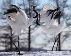 Red-crowned Crane courtship dance (photo by yume) Beautiful Birds, Animals Beautiful, Animals And Pets, Cute Animals, Japanese Crane, Crane Bird, The Embrace, Bird Watching, Nature Pictures