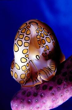 Flamingo Tongue Sea Snail - lives on soft corals in the Caribbean and is the only ocean animal that can change its color in fright. Underwater Creatures, Underwater Life, Ocean Creatures, Beautiful Sea Creatures, Animals Beautiful, Life Under The Sea, Beneath The Sea, Sea Snail, Sea Slug
