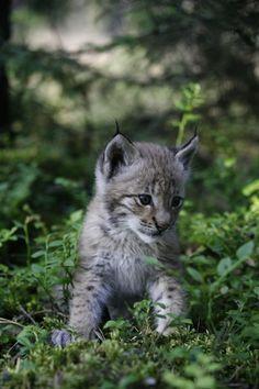 *Baby Lynx