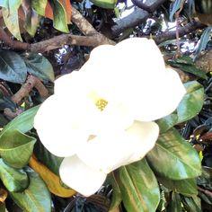 Clemson Magnolia