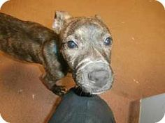 Douglasville, GA - American Pit Bull Terrier Mix. Meet Zola, a puppy for adoption. http://www.adoptapet.com/pet/12535916-douglasville-georgia-american-pit-bull-terrier-mix