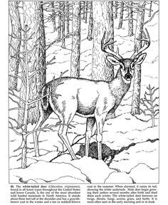 Forest animals coloring pages Dover Publications Deer Coloring Pages, Adult Coloring Pages, Coloring Sheets, Coloring Books, Wood Burning Patterns, Wood Burning Art, Bild Tattoos, Dover Publications, You Draw
