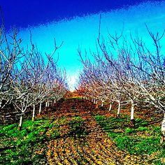 Walnut orchard, Winters, CA