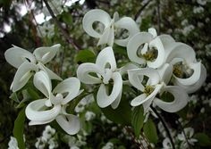 A Rare Mexican Version Of The Common American Dogwood Tree This Variety Is Noted For Its Flower Bracts Which Are Fused Together Resulting In An Amazing
