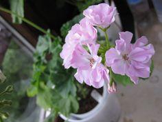 Deacon Moonlight Moonlight, Plants, Plant, Planets