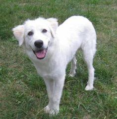 GREAT PRYNESS DOG PHOTO   Dogster Great Pyrenees, Dog Behavior, Diamond Are A Girls Best Friend, Dog Photos, Dog Breeds, Dog Lovers, Labrador Retriever, Best Friends, Dogs