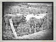 Famille bovine à Montreuil en Auge