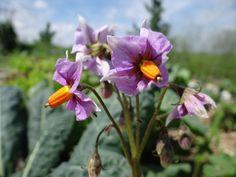 Mountain Rose potato in the Heartland Harvest Garden | Powell Gardens' Blog