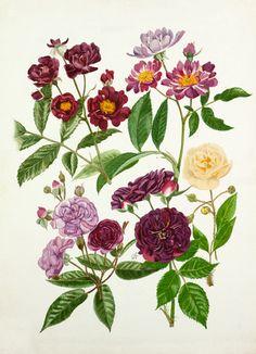Graham Stuart Thomas -- Rosa 'Violette', Rosa 'Veilchenblau', Rosa 'Rose-Marie Viaud', Rosa 'Bleu Magenta', Rosa 'Goldfinch' -- Rose -- View By Flower -- RHS Prints