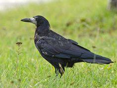 Mustavaris (Corvus frugilegus) Oulu Karjasilta 29.8.2014