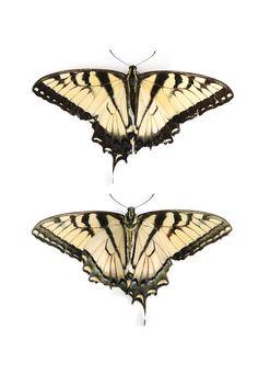 swallowtail butterfly (mary jo hoffman)