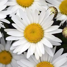 All Plants, Growing Plants, Cut Flowers, White Flowers, Shasta Daisies, Gold Medal Winners, Plant Catalogs, Garden Borders, Annual Plants