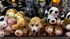 Corgi Wally tries to blend in with the plushies and squeekies..<3<3