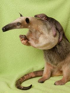 A mother anteater giving its baby a ride on its back.