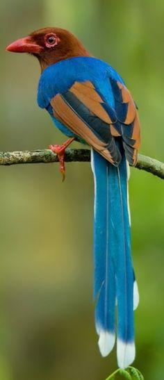 Ceylonblåskata. Srilankanloistoharakka