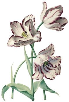 """An early century drawing of tulip """"Prins d'Orange Blanc"""", attributed to August Sievert, botanical illustration. Vintage Illustration, Illustration Blume, Floral Illustrations, Botanical Illustration, Art Floral, Motif Floral, Botanical Flowers, Botanical Prints, Flower Prints"""