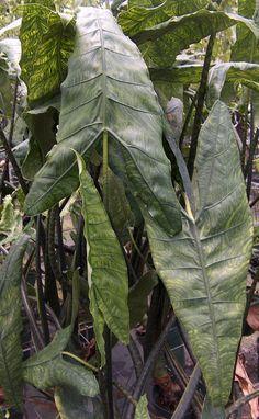 Alocasia reticulata pic 1