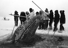 'Big Miracle' Whale Rescue in Alaska.
