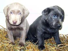 silver and black lab puppies